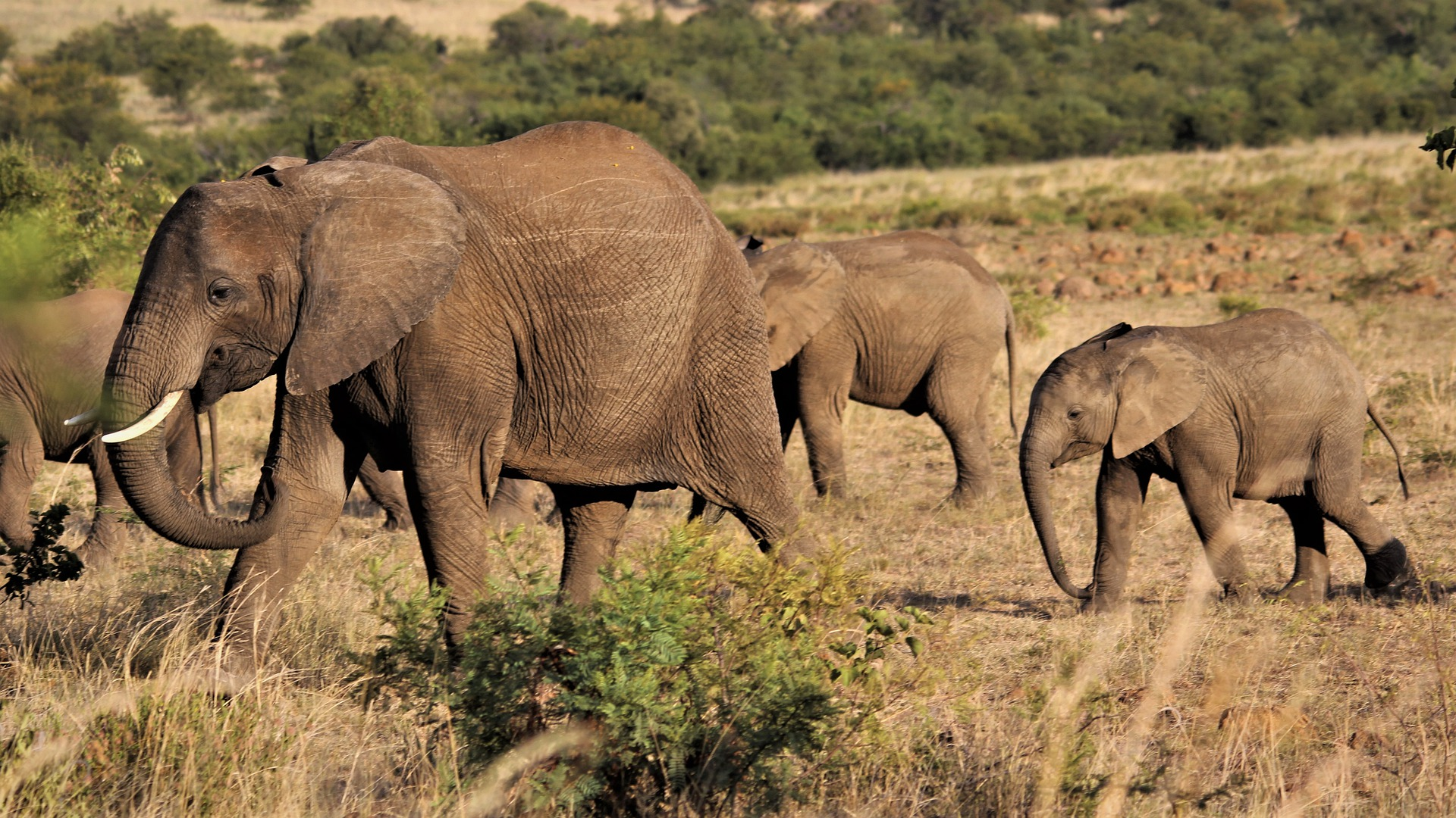 стадо слонове, слон