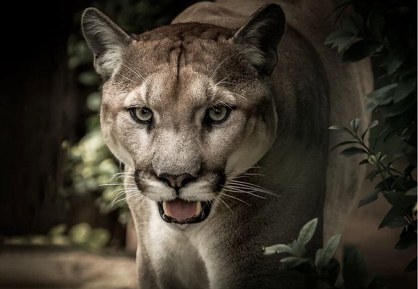 пума планински лъв
