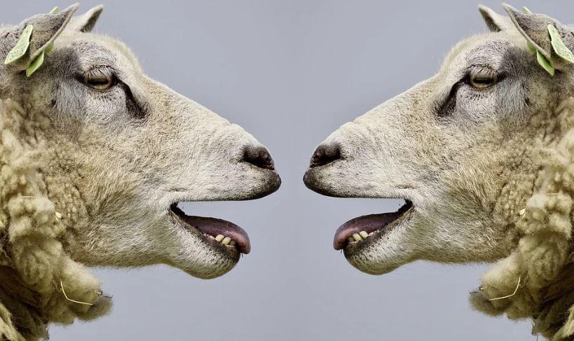 овца овце