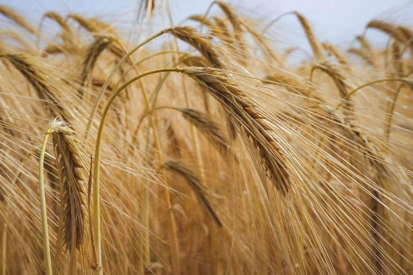 зърно реколта