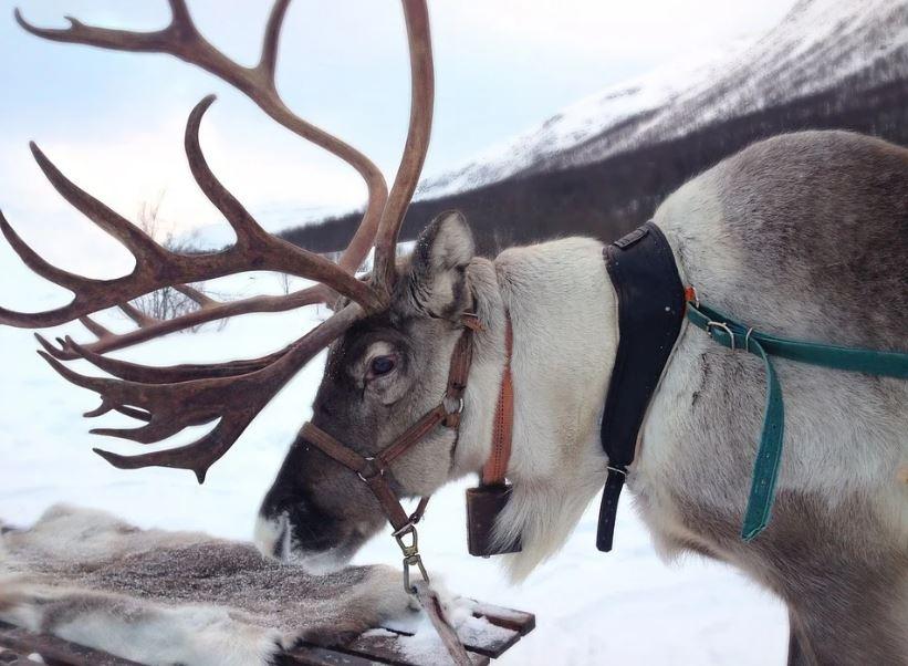 елен северен елен Норвегия