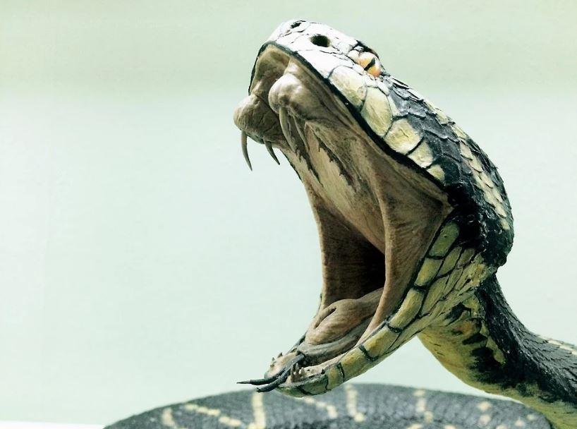 змия кобра